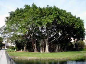 pohon rindang